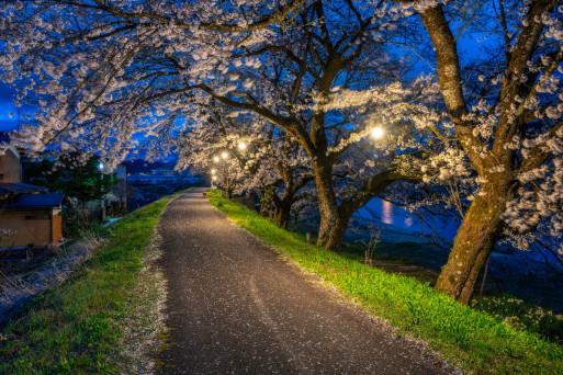 Top Cherry Blossom Locations In Hida Furukawa