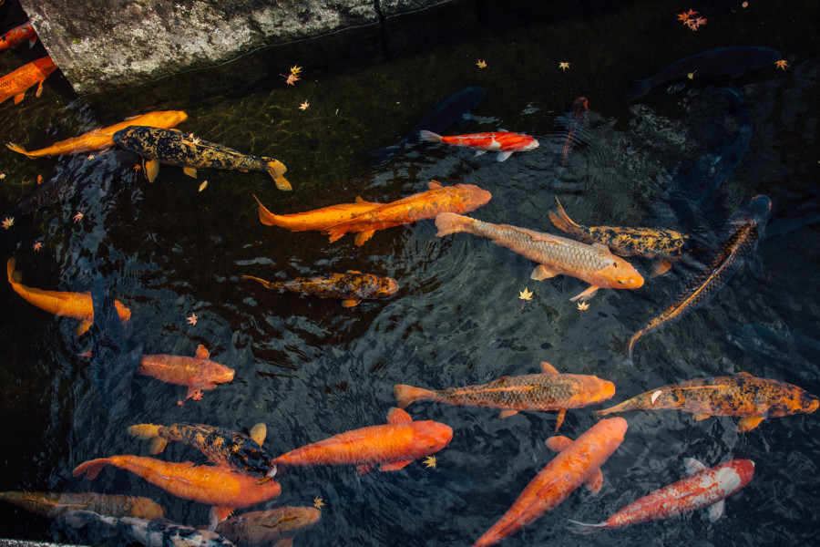 Moving of the Seto Canal Carp