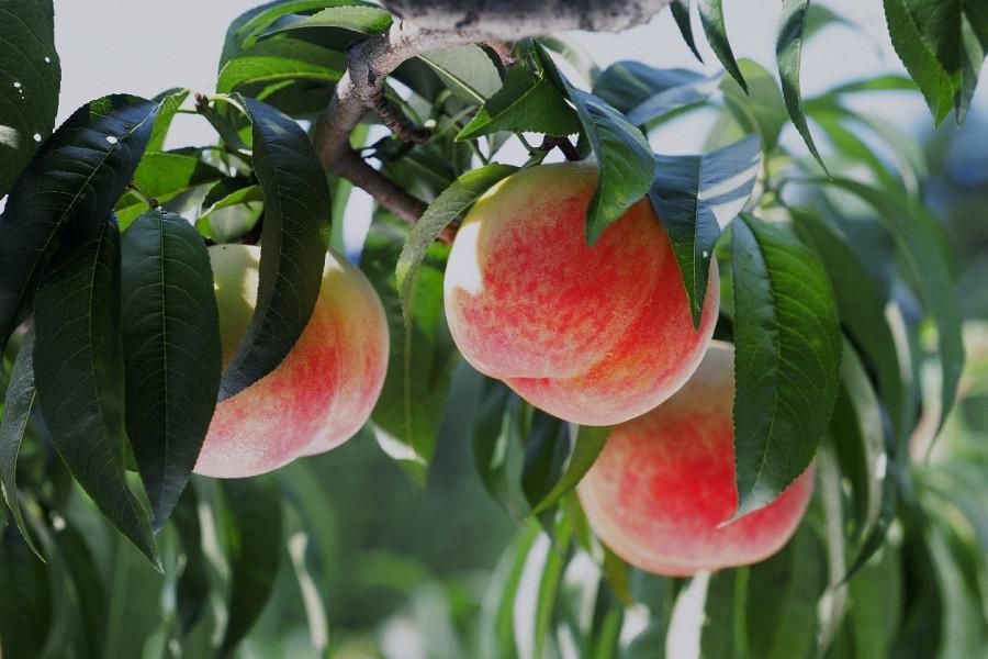 Kurouchi Fruits Farm